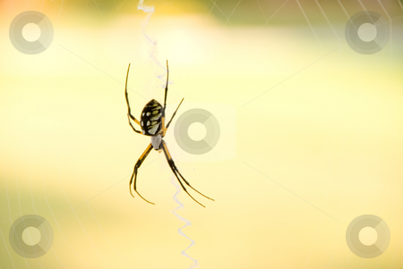 Writing Spider stock photo, A writing or scribbler orb weaver spider. by Robert Byron