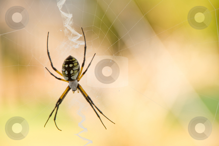 Writing Spider stock photo, A writing spider in a web. by Robert Byron