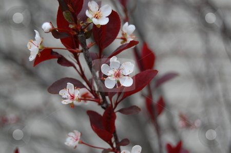 Plum blossoms in spring stock photo, Plum blossoms in spring by Heather Shelley