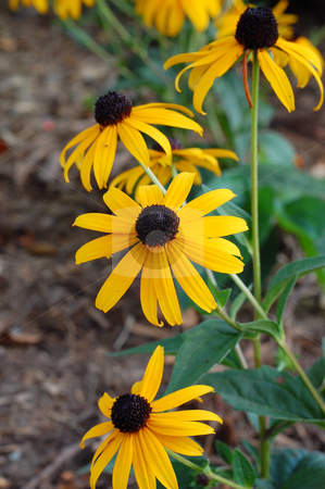 Black eyed susan in Autumn stock photo,  by Heather Shelley