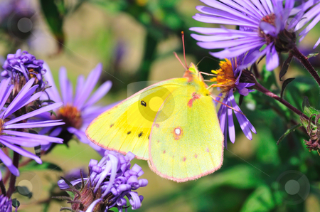 Clouded Yellow Butterfly stock photo, Yellow Butterfly perched on Purple flowers by Will Burwell