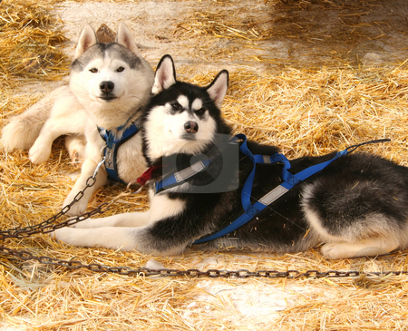 Sled Dogs stock photo, Sled dogs waiting to race in the Casper Mountain Sled Dog Races on Casper Mountain, in Casper, WY. by Clay Anthony