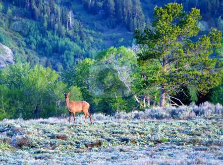 Elk.cow.GTNP stock photo, Elk cow at morning light in Grand Teton National Park. by Clay Anthony