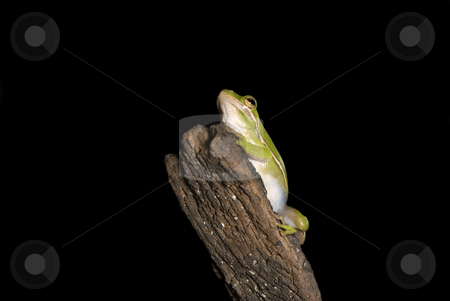 Green Tree Frog on Branch stock photo, A Green tree frog (Hyla cinerea) hangs out on a branch, isolated on a black background. by A Cotton Photo