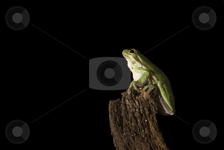 Green Tree Frog Pre-Leap stock photo, A Green Tree Frog (Hyla cinerea) prepares to leap into the unknown.  isolated on a black background. by A Cotton Photo