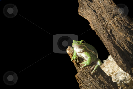 Green Tree Frog stock photo, A green tree frog (Hyla cinerea) hangs out on a tree branch, isolated on black. by A Cotton Photo