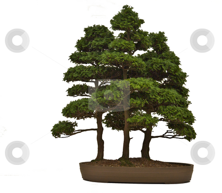 Isolated bonsai conifer trees stock photo,  by Mark Smith