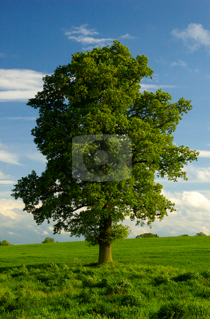 A Young Mature Lone English Oak Tree stock photo,  by Mark Smith