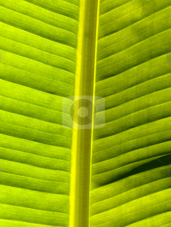 Beautiful banana leaf stock photo, Macro of a banana leaf back lit by Laurent Dambies