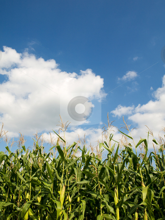 Corn crops field stock photo, Corn crops field in summer under blue sky with clouds by Laurent Dambies