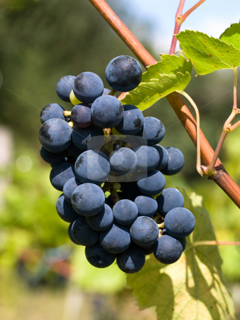 Dark grapes closeup stock photo, Dark grapes in vineyard in France by Laurent Dambies