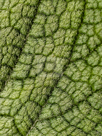 Hairy leaf stock photo, Macro of a hairy leaf by Laurent Dambies