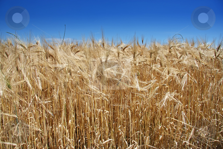 Summer wheat stock photo, Golden summer wheat crop against blue sky by Kheng Guan Toh