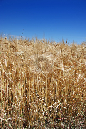 Summer wheat stock photo, Golden summer wheat crop against blue sky by Kheng Guan Toh