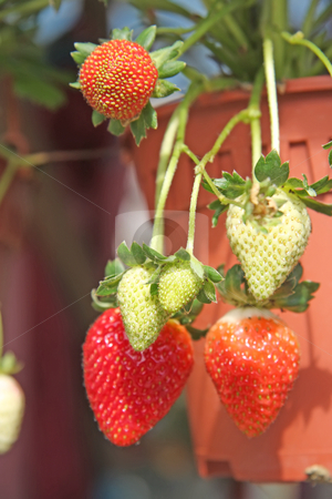 Strawberry plants stock photo, Strawberries growing on the plant fresh produce by Kheng Guan Toh