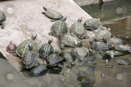 Tortoises stock photo, A group of turtles together next to a pond by Kheng Guan Toh