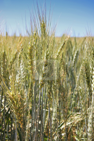 Summer wheat stock photo, Growing summer wheat crop against blue sky by Kheng Guan Toh