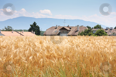 Rural countryside stock photo, Golden wheat crop with country village buildings behind by Kheng Guan Toh
