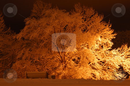 Snow Covered Tree stock photo, Tree covered in Snow after Storm by Will Burwell
