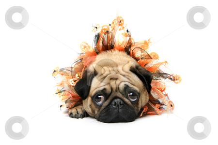 Halloween Pug stock photo, Cute Pug dressed for Halloween. by Megan Lorenz