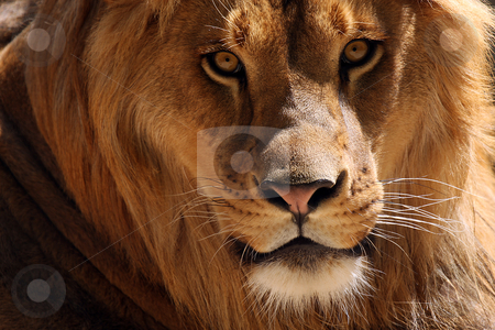 Male Lion stock photo, Closeup of a male Lion staring directly at the camera. by Megan Lorenz