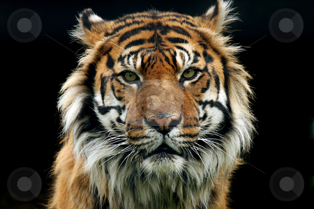 If Looks Could Kill stock photo, Closeup of an aggressive Sumatran Tiger against a black background. by Megan Lorenz