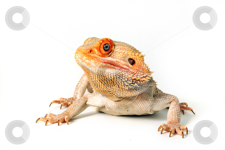 Colorful Bearded Dragon stock photo, Sandfire Bearded Dragon isolated on white background. by Megan Lorenz