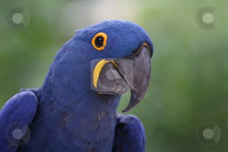 Hyacinth Macaw stock photo, Closeup of a beautiful Hyacinth Macaw. by Megan Lorenz