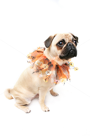 Halloween Pug stock photo, Cute Pug dressed for Halloween. by Megan Lorenz