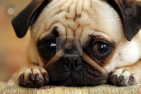 Guilty Pug stock photo, Closeup of a guilty looking puppy staring at the camera. by Megan Lorenz