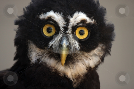 Spectacled Owl stock photo, Closeup of a Spectacled Owl. by Megan Lorenz