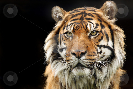 Sumatran Tiger stock photo, Sumatran Tiger against a black background. by Megan Lorenz