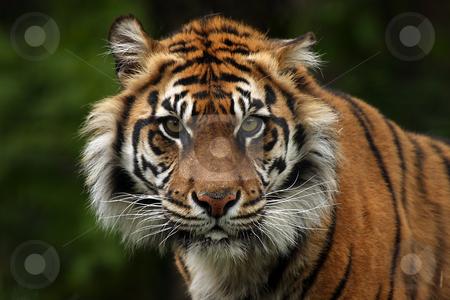 Tiger stock photo, Closeup of a Sumatran Tiger by Megan Lorenz