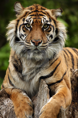 Tiger stock photo, Closeup of a Sumatran Tiger by Megan Lorenz