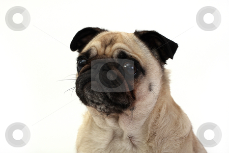 Pug stock photo, Closeup of a Pug. by Megan Lorenz