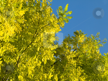 Tree yellow stock photo, Beautiful yellow tree in Summer by Laurent Dambies