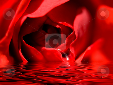 Beautiful red rose stock photo, Beautiful Valentine's day red rose reflection in a pool of water by Laurent Dambies