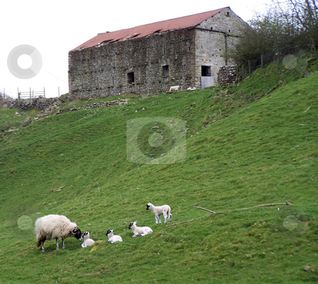 Sheep and lambs in a line in Cumbria stock photo, These four little lambs posed for me in a line down a hillside in Cumbria, in the Northwestern UK. by JKJ Anderson
