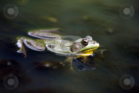Bullfrog stock photo, Closeup of a Bullfrog floating in a pond. by Megan Lorenz