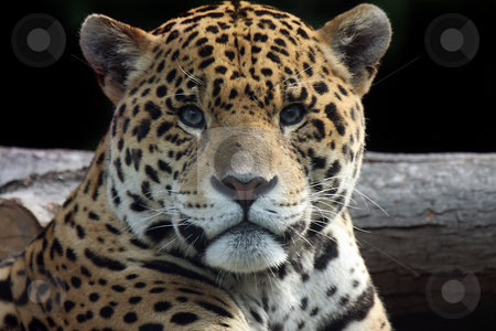 The Watcher stock photo, Curious Jaguar staring at the camera. by Megan Lorenz