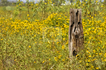 Wooden post and yellow flowers stock photo, Rural scene of an old wooden post and a carpet of yellow flowers by Scott Griessel