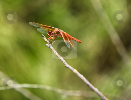 Dragonfly stock photo, Red dragonfly perched on a bare twig by Scott Griessel