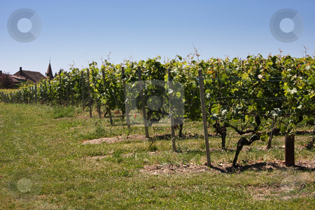 Summertime vineyards stock photo, Vineyards in summertime european countryside grape agriculture by Kheng Guan Toh