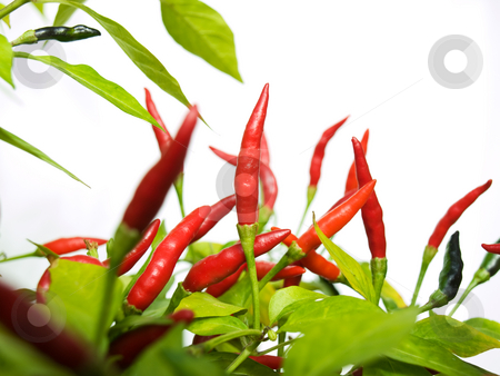 Chilli red stock photo, Closeup of red chilli still on plant with a clear background. by Sinisa Botas
