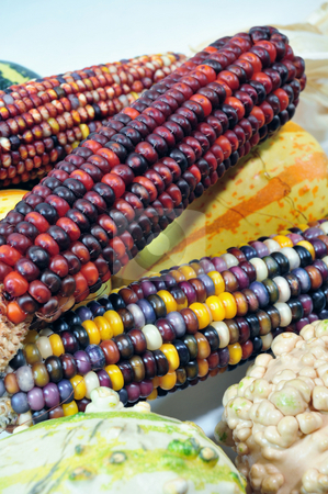 Indian Corn And Gourds stock photo, Colorful autumn indian corn and gourds on a light background by Lynn Bendickson