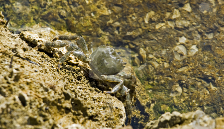 Adriatic Crab stock photo, Adriatic mimetic coastal Crab by Sinisa Botas