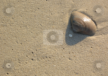 Seashell on Sandy Beach stock photo, Close-up of a seashell on a sandy beach in early morning light. by Rosi Berry