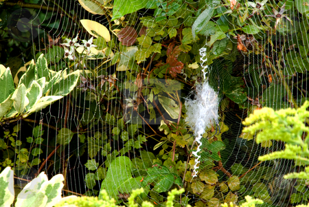 Spider Web  stock photo, A Spider Web in some green bushes. by Robert Byron