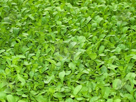Greeen salad  stock photo, Just a new green salad usable for background. by Sinisa Botas