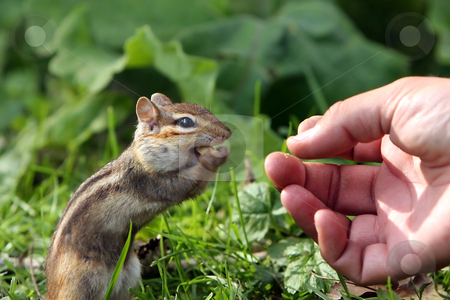 Shared Moment stock photo, Chipmunk taking a peanut from man's hand. by Megan Lorenz